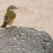 gele-zanger-yellow-warbler-04