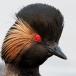 Geoorde fuut – Black-necked Grebe