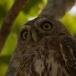 Geparelde dwerguil – Pearl-spotted Owlet