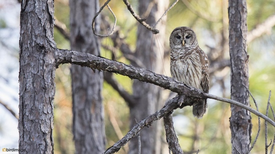 Gestreepte bosuil - Barred Owl 002
