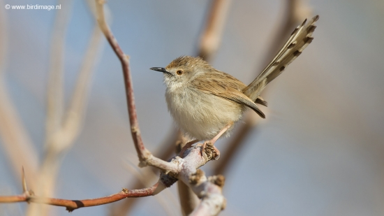 gestreepte-prinia-graceful-prinia-04