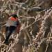 Goudvink - Bullfinch 02