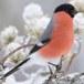 Goudvink – Bullfinch