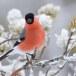 Goudvink - Bullfinch 09