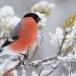Goudvink - Bullfinch 10