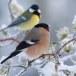 Goudvink - Bullfinch 12