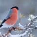 Goudvink - Bullfinch 14