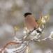 Goudvink - Bullfinch 15