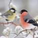 Goudvink - Bullfinch 18