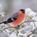 Goudvink - Bullfinch 20