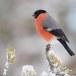 Goudvink - Bullfinch 21