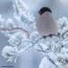 Goudvink - Bullfinch 23