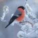 Goudvink - Bullfinch 24