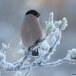 Goudvink - Bullfinch 26