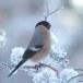 Goudvink - Bullfinch 27