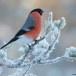 Goudvink - Bullfinch 28