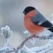 Goudvink - Bullfinch 29