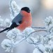 Goudvink - Bullfinch 30