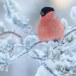 Goudvink - Bullfinch 33
