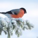 Goudvink - Bullfinch 35