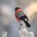 Goudvink - Bullfinch 36