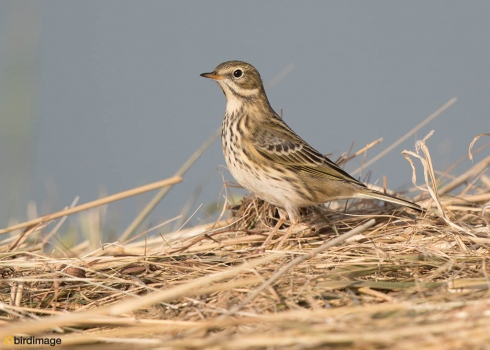 Graspieper - Meadow Pipit 09