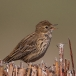 graspieper-meadow-pipit-02
