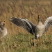 grauwe-gans-greylag-goose-01