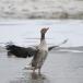 grauwe-gans-greylag-goose-03
