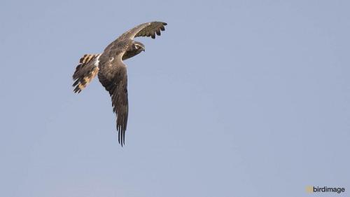 Grauwe kiekendief - Montagus Harrier 02