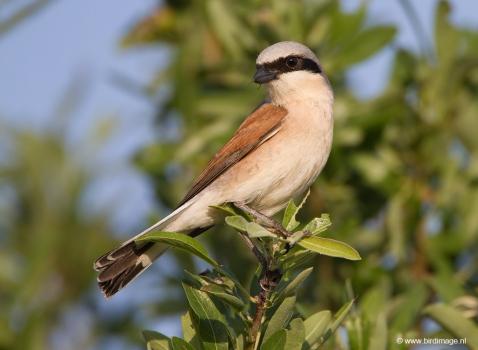 Grauwe klauwier - Red-backed Shrike 10