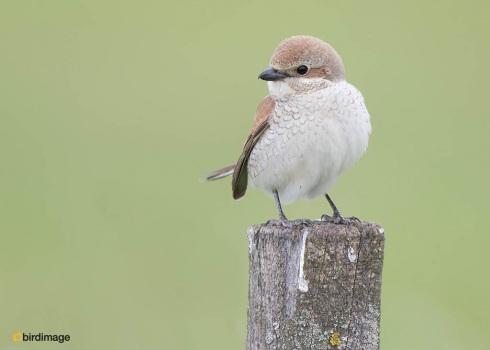 Grauwe klauwier - Red-backed Shrike 14