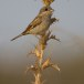 Grauwe klauwier - Red-backed Shrike 01