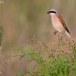 Grauwe klauwier - Red-backed Shrike 04