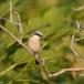 Grauwe klauwier - Red-backed Shrike 06