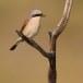 Grauwe klauwier - Red-backed Shrike 07