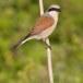 Grauwe klauwier - Red-backed Shrike 08