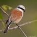 Grauwe klauwier - Red-backed Shrike 12