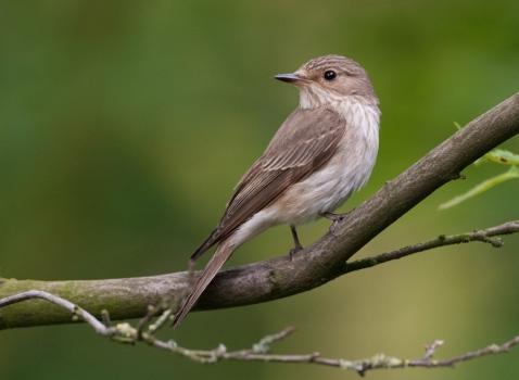 grauwe-vliegenvanger-spotted-flycatcher-01