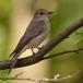 grauwe-vliegenvanger-spotted-flycatcher-06