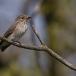 grauwe-vliegenvanger-spotted-flycatcher-07