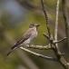 grauwe-vliegenvanger-spotted-flycatcher-08