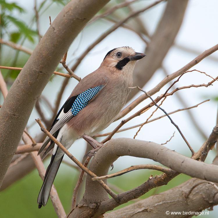 http://www.birdimage.nl/wp-content/gallery/griekse-gaai/Gaai-Jay-Greece-02.jpg