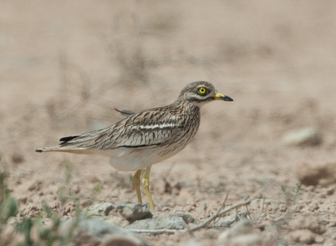 griel-stone-curlew-02