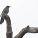 Grijsbuik-Piet-van-Vliet-Grey-bellied-cuckoo-01