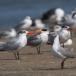 grijskopmeeuw-grey-headed-gull-03