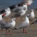 grijskopmeeuw-grey-headed-gull-04