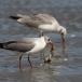 grijskopmeeuw-grey-headed-gull-09