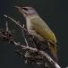 Grijskopspecht – Grey-headed Woodpecker