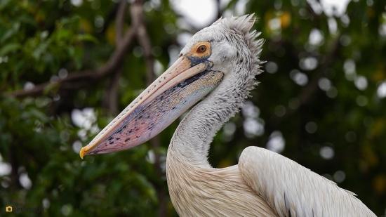 Grijze-pelikaan-Spot-billed-pelican-08